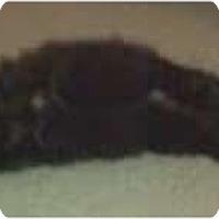 Adopt A Pet :: Chicita of Dreamcats - Franklin, NC