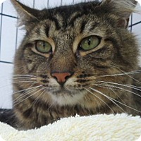 Domestic Mediumhair Cat for adoption in Berkeley, California - Willow