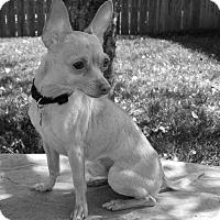 Adopt A Pet :: Gilbert-Fostered in KC - Bridgeton, MO