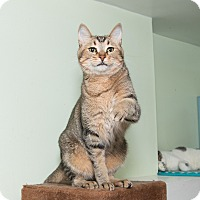Abyssinian Cat for adoption in Chicago, Illinois - Superman