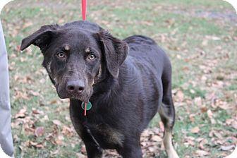 Labrador Retriever/German Shepherd Dog Mix Dog for adoption in Conway, Arkansas - Mojo