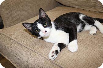Domestic Shorthair Kitten for adoption in Edmond, Oklahoma - Wrigley
