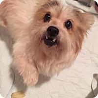 Adopt A Pet :: Fizz - Westport, CT