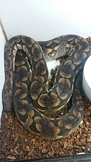 Snake for adoption in Lake Forest, California - Dumerils Boa