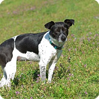 Adopt A Pet :: Noel - Plainfield, CT