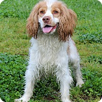 Adopt A Pet :: Benji - Waldorf, MD