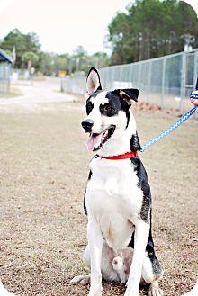 Alaskan Malamute/Shepherd (Unknown Type) Mix Dog for adoption in Crawfordville, Florida - Bona