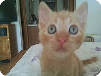 Domestic Shorthair Kitten for adoption in Geneseo, Illinois - Noah