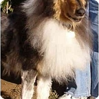 Adopt A Pet :: Trooper - Gardena, CA