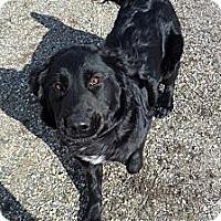 Adopt A Pet :: Mesa - Chewelah, WA
