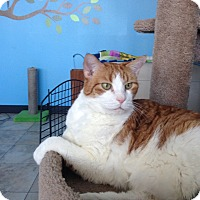Adopt A Pet :: Cheech - Las Vegas, NV