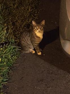Domestic Shorthair Cat for adoption in Sunny Isles Beach, Florida - Junior