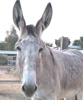 Other for adoption in West Los Angeles, California - Eyore the Donkey