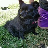 Adopt A Pet :: Sasha - Lodi, CA