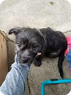 Terrier (Unknown Type, Small)/American Pit Bull Terrier Mix Puppy for adoption in Salem, Oregon - Rufus