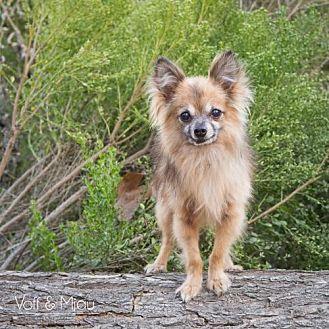 Pomeranian/Chihuahua Mix Dog for adoption in Capistrano Beach, California - Billy Bob