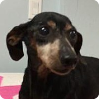 Adopt A Pet :: Sweet Boo - Weston, FL