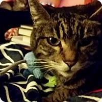 Domestic Shorthair Cat for adoption in Novato, California - Sarabi