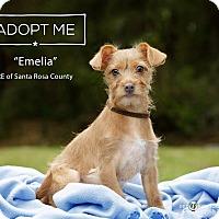 Chihuahua/Dachshund Mix Puppy for adoption in Navarre, Florida - Emelia