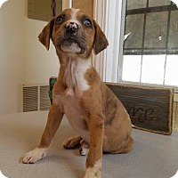 Catahoula Leopard Dog Mix Puppy for adoption in New Oxford, Pennsylvania - Cinder