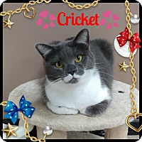 Adopt A Pet :: Cricket - Maryville, TN