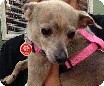 Greyhound/Chihuahua Mix Dog for adoption in Thousand Oaks, California - Bella