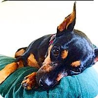Adopt A Pet :: Pippa - Scottsdale, AZ