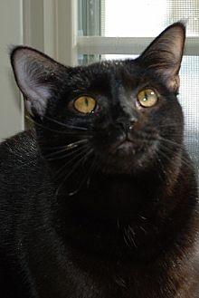 American Shorthair Cat for adoption in Salem, West Virginia - Daryl