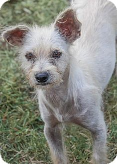 Terrier (Unknown Type, Medium) Mix Dog for adoption in Pipe Creed, Texas - Cha Cha