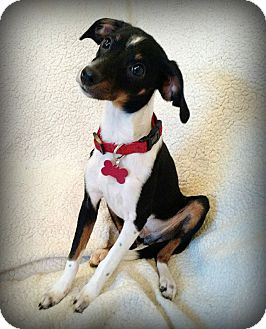 Chihuahua/Dachshund Mix Dog for adoption in Barium Springs, North Carolina - ARCHIE