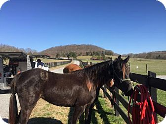 Tennessee Walking Horse for adoption in Gallatin, Tennessee - Hershey