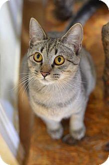 Domestic Shorthair Cat for adoption in Atlanta, Georgia - Aeryn170060