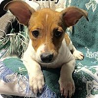 Adopt A Pet :: Fancy (has been adopted) - Burlington, VT