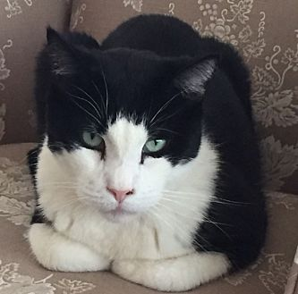 Domestic Shorthair Cat for adoption in Manchester, Connecticut - Moe