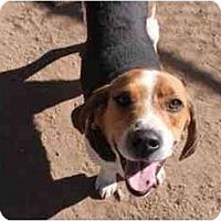 Adopt A Pet :: Tom Sawyer - Phoenix, AZ