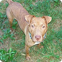 Adopt A Pet :: Star - Nashua, NH