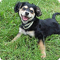 Adopt A Pet :: Bella Rae - Hagerstown, MD