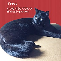 Domestic Mediumhair Cat for adoption in Monrovia, California - ELVIS - IS IN THE HOUSE!