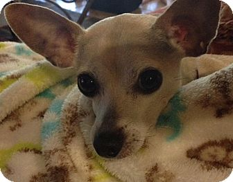 Chihuahua Mix Dog for adoption in Naples, Florida - Tobey