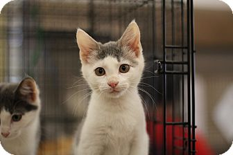 Domestic Shorthair Kitten for adoption in Richmond, Virginia - Sage