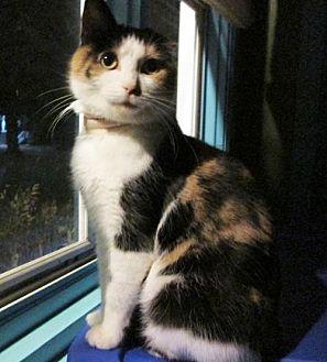 Calico Cat for adoption in Maywood, Illinois - Chloe