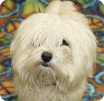 Maltese Mix Dog for adoption in Jackson, Michigan - Casper
