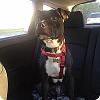 Adopt A Pet :: Chance - West Allis, WI