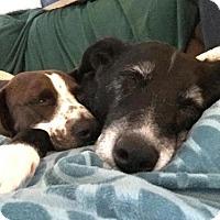 Adopt A Pet :: Beatrice - Glastonbury, CT