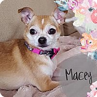 Chihuahua Dog for adoption in Barriere, British Columbia - Macy