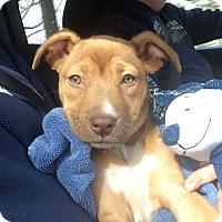 Adopt A Pet :: Rosalyn - Sparta, NJ