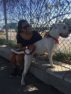American Bulldog Mix Dog for adoption in Beverly Hills, California - Elliot