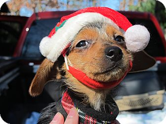 Dachshund/Yorkie, Yorkshire Terrier Mix Puppy for adoption in Harrisonburg, Virginia - Kandy Kane