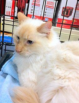 Siamese Cat for adoption in Madisonville, Louisiana - Marie