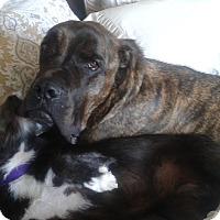 Adopt A Pet :: Champ 2 - Rochester/Buffalo, NY